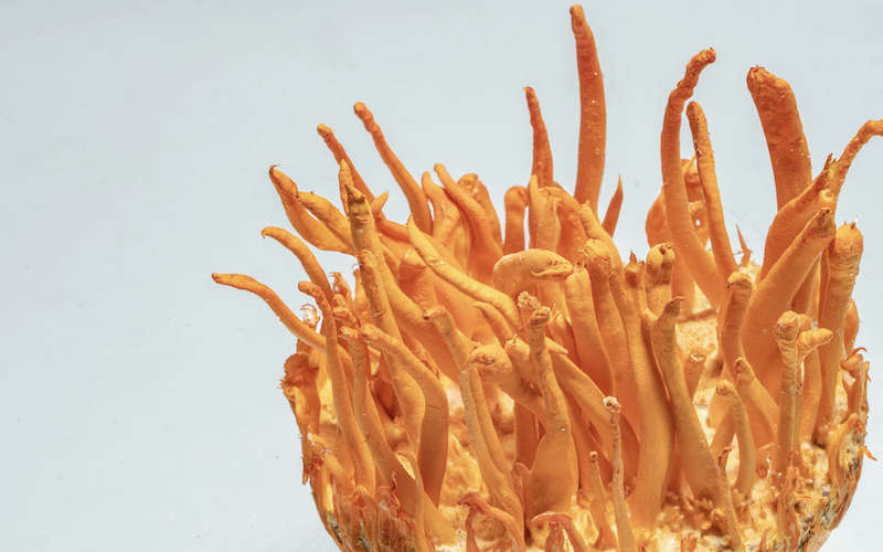 Cordyceps mushrooms are used to enhance athletic performance, cordyceps mushrooms increase endurance  by amping up the efficiency of energy metabolism